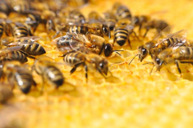 Honigbienen, Copyright: Ivan Marjanovic, bigstockphoto.com